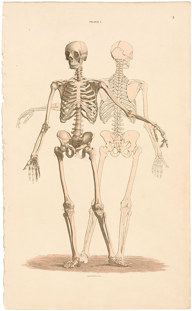 John Lizars Pl 1 General View Of The Skeleton Anatomical Plates