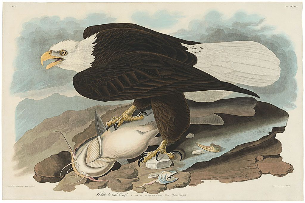 Original Havell Edition Audubon Prints