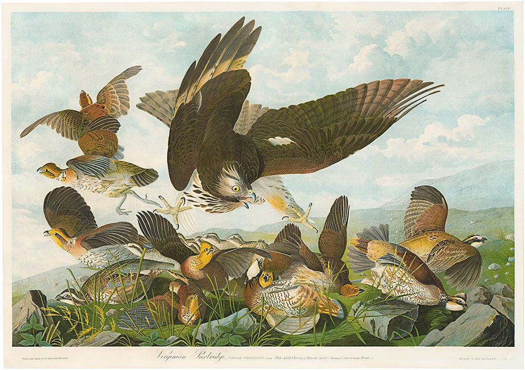 ​Original Bien Edition Audubon Prints​