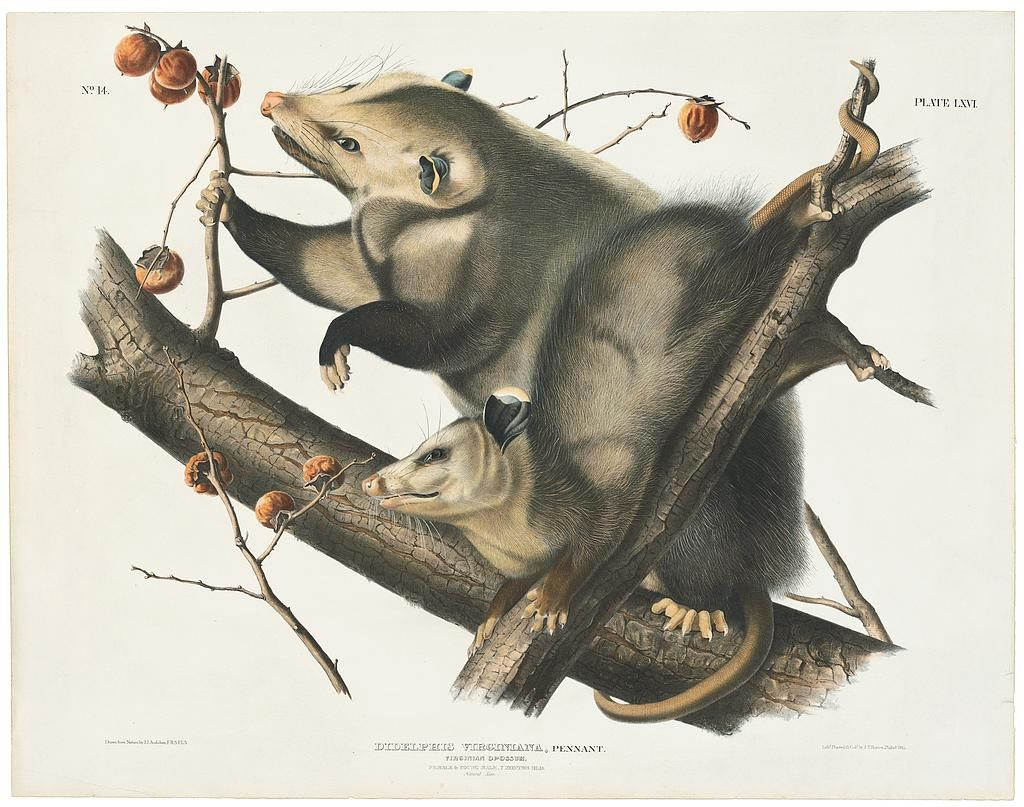 Original Imperial Edition Audubon Prints​