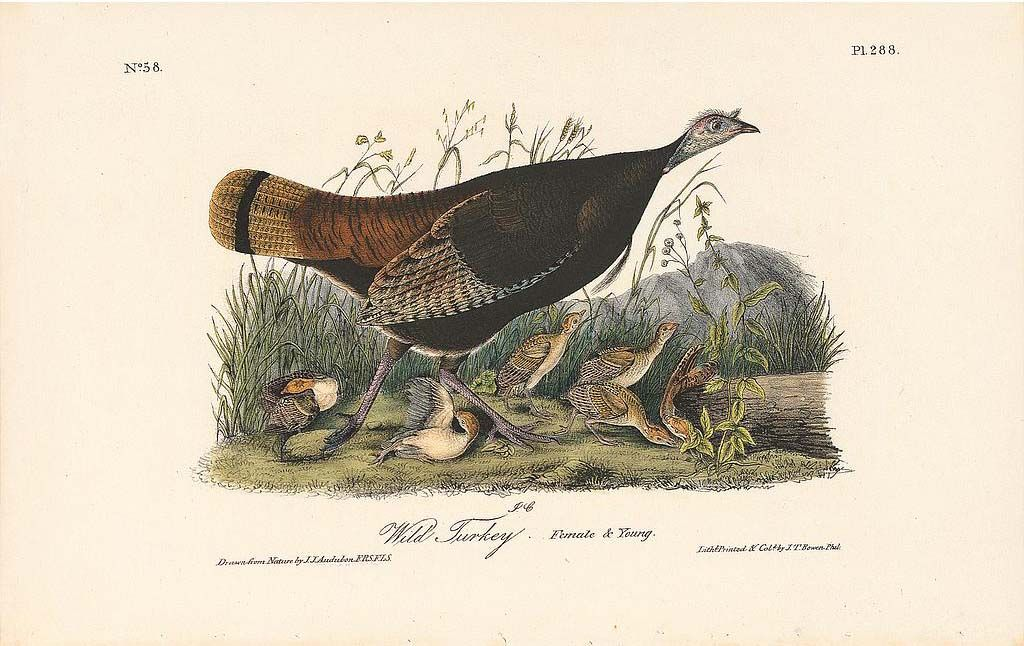 Original 1st Octavo Edition Audubon Prints