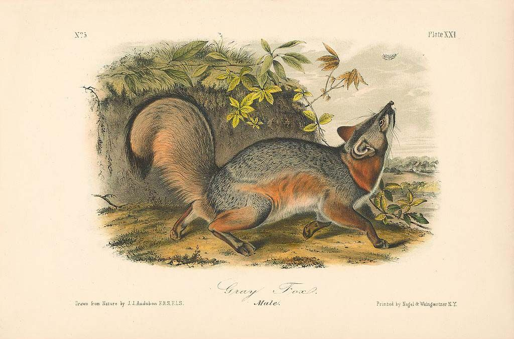 Original Quadruped Octavo Ed Audubon Prints