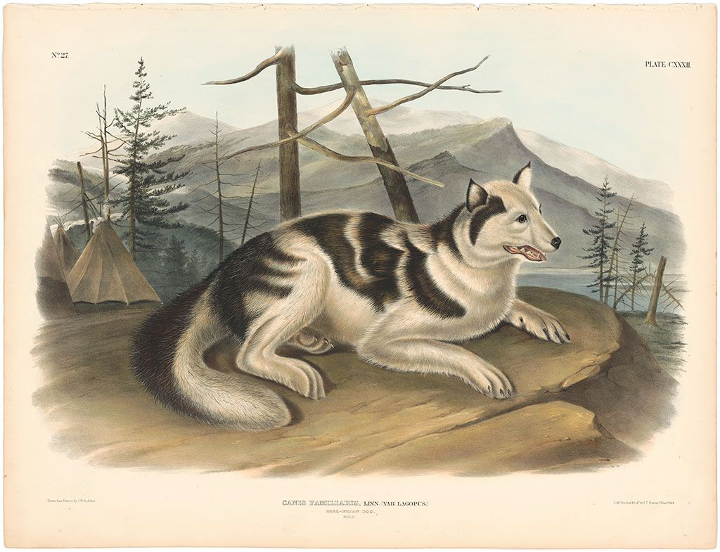 Image result for Audubon painting of Indian dog