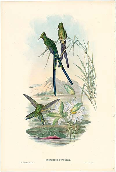 Gould Plate 172 - Blue-tailed Sylph