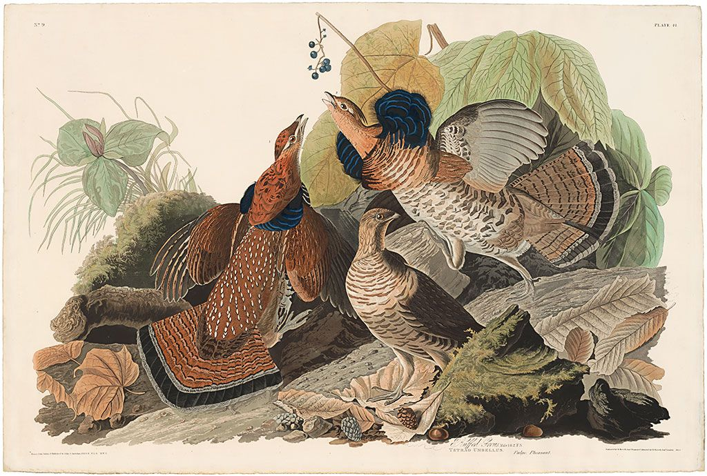 John James Audubon Plate 41 - Ruffed Grous