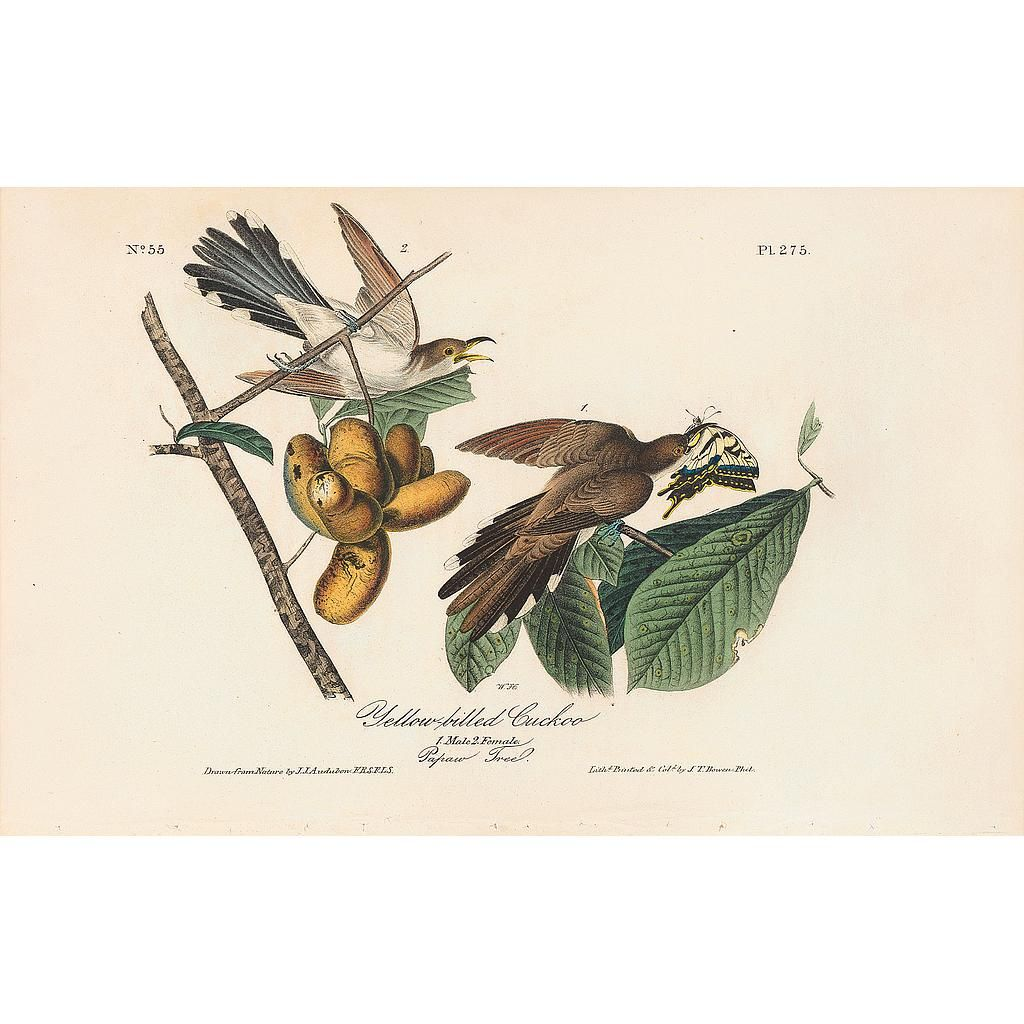 John James Audubon Pl 275 Yellow Billed Cuckoo Hand Colored